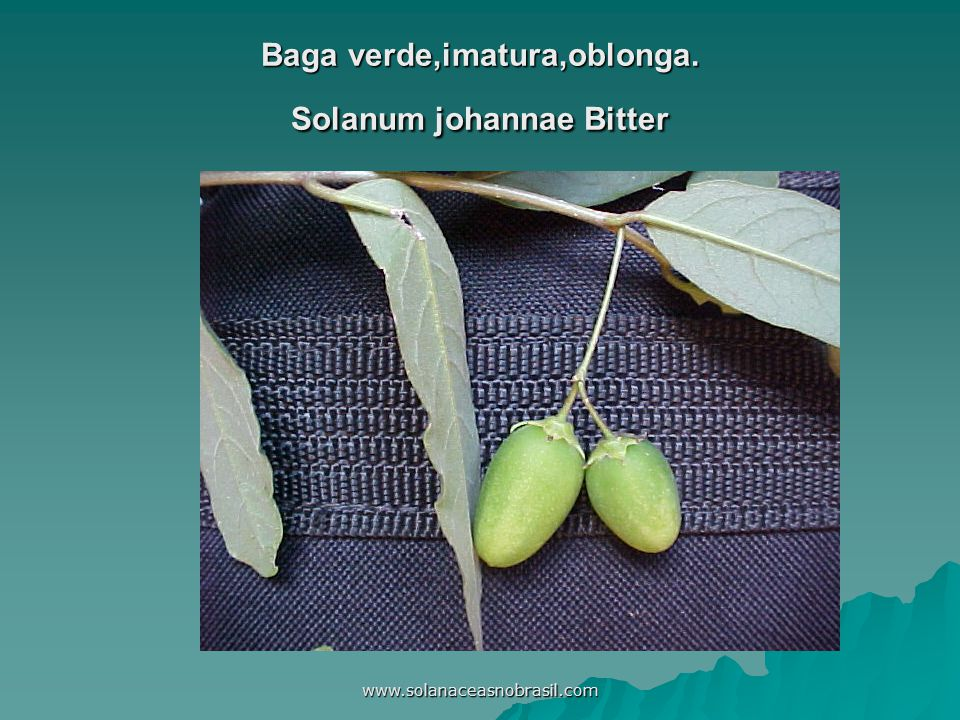 www.solanaceasnobrasil.com Baga verde,imatura,oblonga. Solanum johannae Bitter
