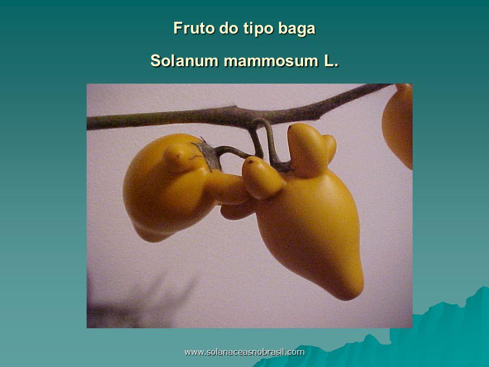 www.solanaceasnobrasil.com Fruto do tipo baga Solanum mammosum L.