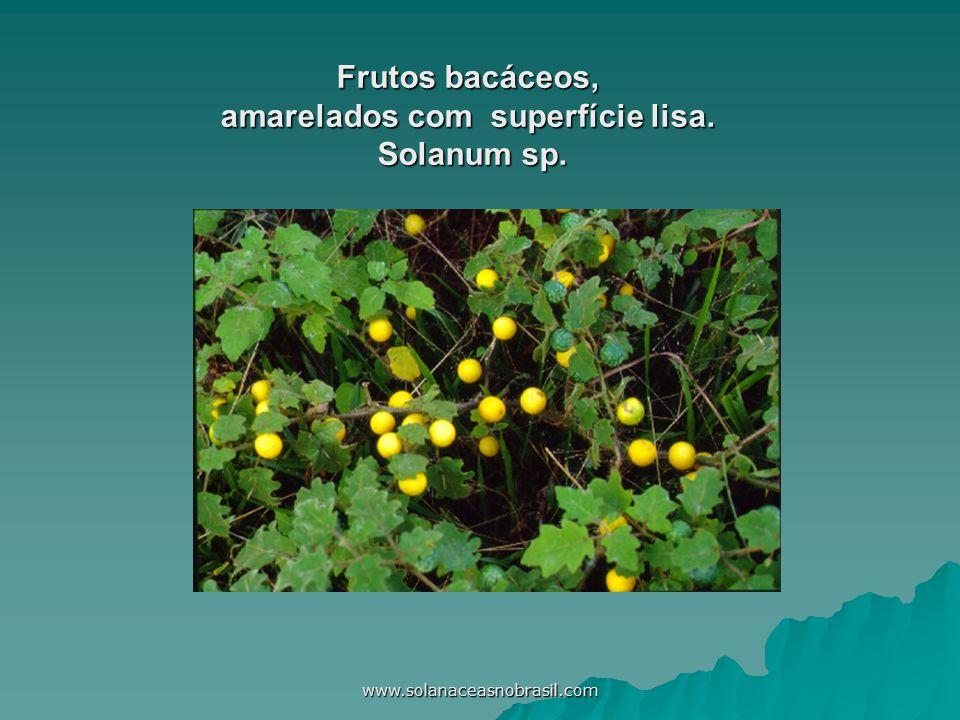 www.solanaceasnobrasil.com Frutos bacáceos, amarelados com superfície lisa. Solanum sp.