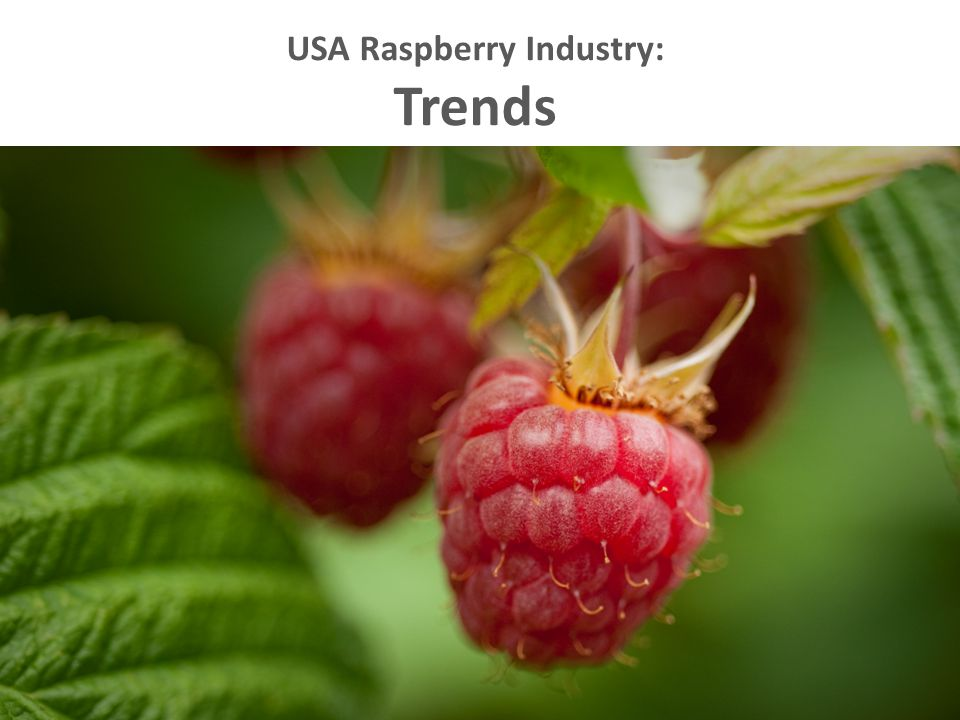 Raspberry Breeding Goals Flavor, Firmness, Size, Color  High yield  RBDV resistant  Root Rot tolerant  Machine harvestable  Aphid resistant  Fruit rot resistant  Winter hardy