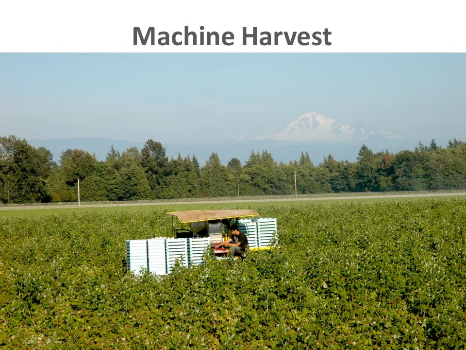 The Northwest is unique… 99% of raspberries going into the processed market are machine harvested.