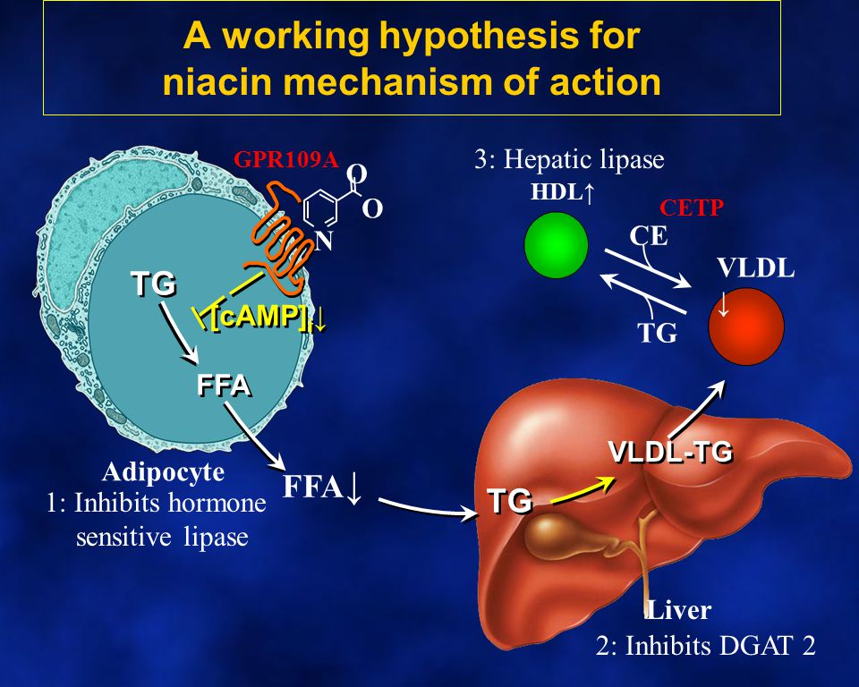 TG VLDL-TG FFA ↓ HDL↑ VLDL ↓ CETP Adipocyte Liver TG FFA GPR109A TG CE [cAMP] i ↓ A working hypothesis for niacin mechanism of action O O N 1: Inhibit