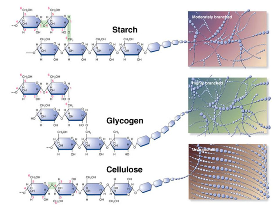 Polysaccharide #3: GLYCOGEN Glycogen (C 6 H 10 O 5 ) n is a polymer made from repeating glucose subunits The molecule varies in size, typically it consists of 30,000 units 2.3.5 Structure and function of cellulose and starch in plants and glycogen in humans.