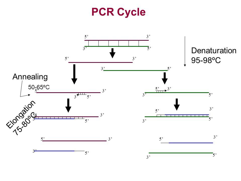 3' 5' 3' 5' 3'5' 3' 5'3' 5'3' 5' 3' 5' 3' 5' 3' 5'3' 5' 3' 5' 3' 5' 3' 5'3' 5' Denaturation 95-98ºC Annealing 50-65ºC Elongation 75-80ºC PCR Cycle