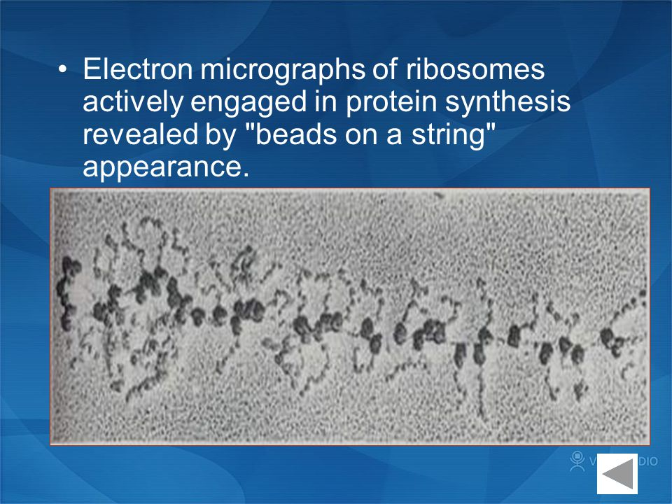 Electron micrographs of ribosomes actively engaged in protein synthesis revealed by