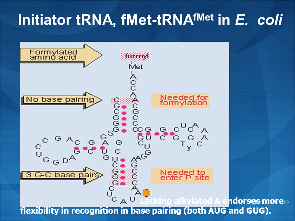 Initiator tRNA, fMet-tRNA fMet in E. coli Lacking alkylated A endorses more flexibility in recognition in base pairing (both AUG and GUG).