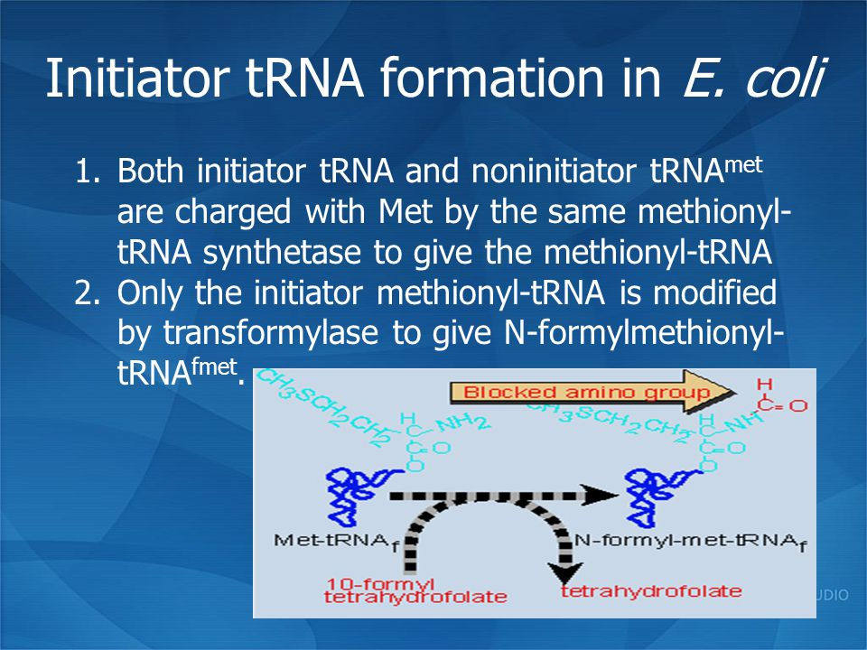 Initiator tRNA formation in E. coli 1.Both initiator tRNA and noninitiator tRNA met are charged with Met by the same methionyl- tRNA synthetase to giv