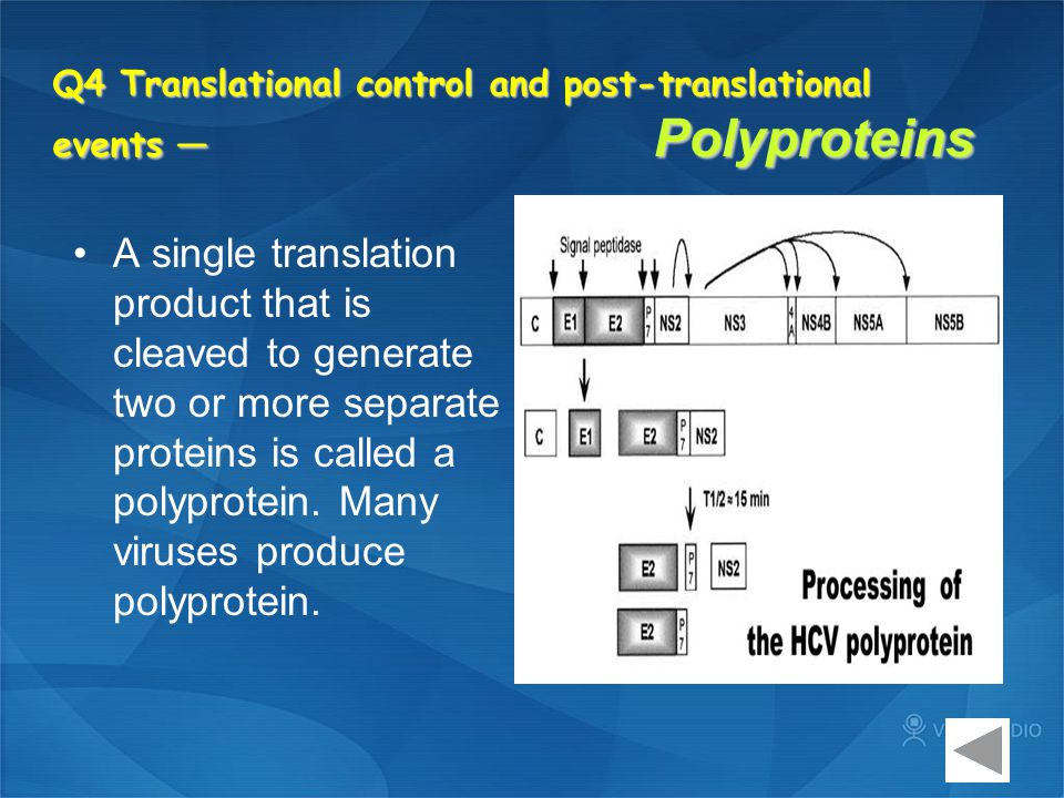Q4 Translational control and post-translational events — Polyproteins A single translation product that is cleaved to generate two or more separate pr