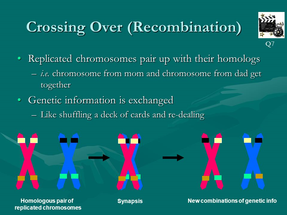 Crossing Over (Recombination) Replicated chromosomes pair up with their homologsReplicated chromosomes pair up with their homologs –i.e.