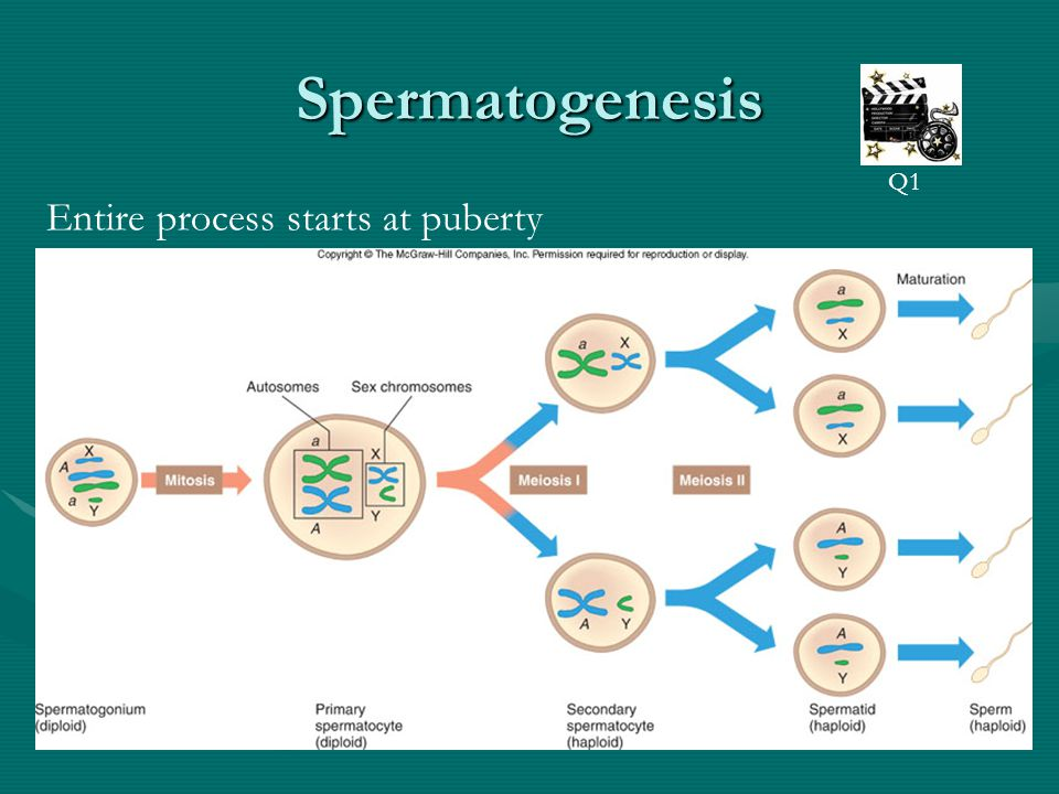Spermatogenesis Q1 Entire process starts at puberty