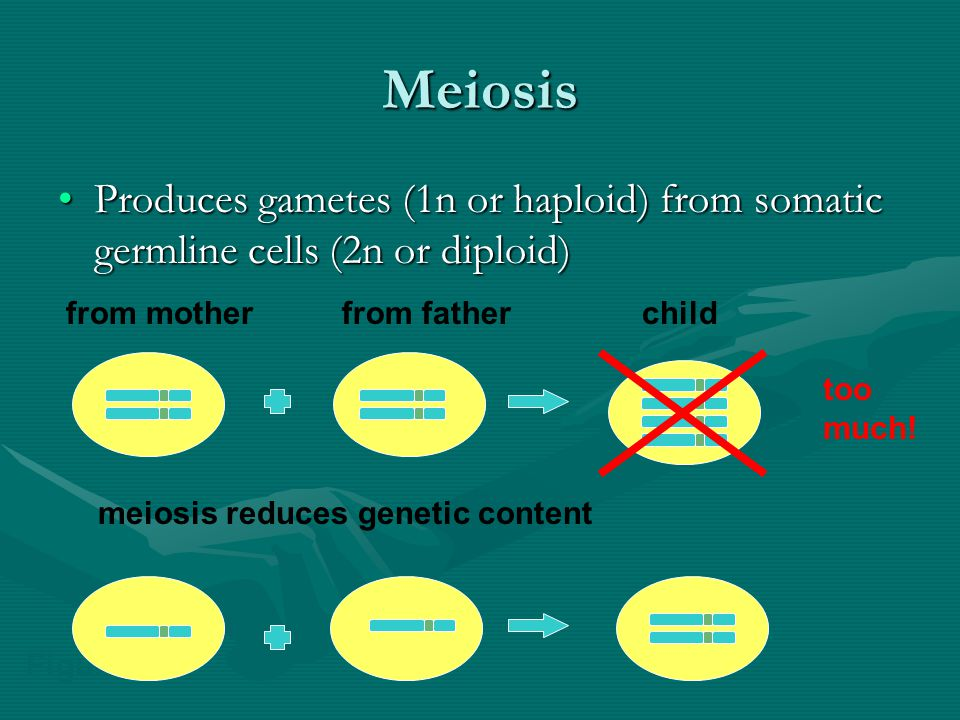 Meiosis II Interphase –Chromosomes DO NOT replicate!Interphase –Chromosomes DO NOT replicate.