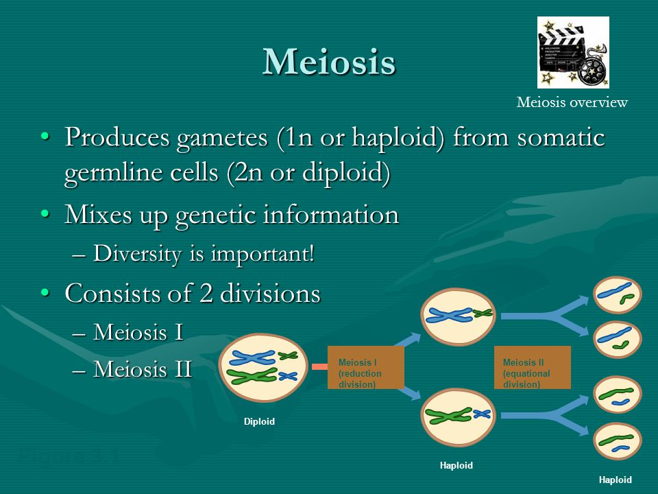 Meiosis Produces gametes (1n or haploid) from somatic germline cells (2n or diploid)Produces gametes (1n or haploid) from somatic germline cells (2n or diploid) Mixes up genetic informationMixes up genetic information –Diversity is important.