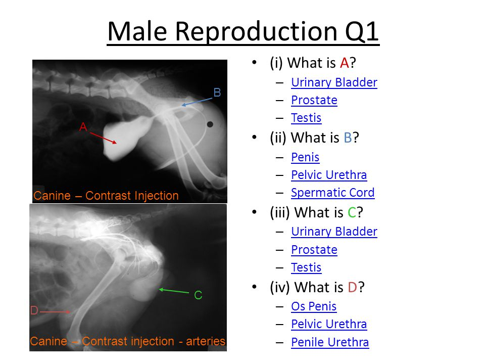 Male Reproduction Q1 (i) What is A.