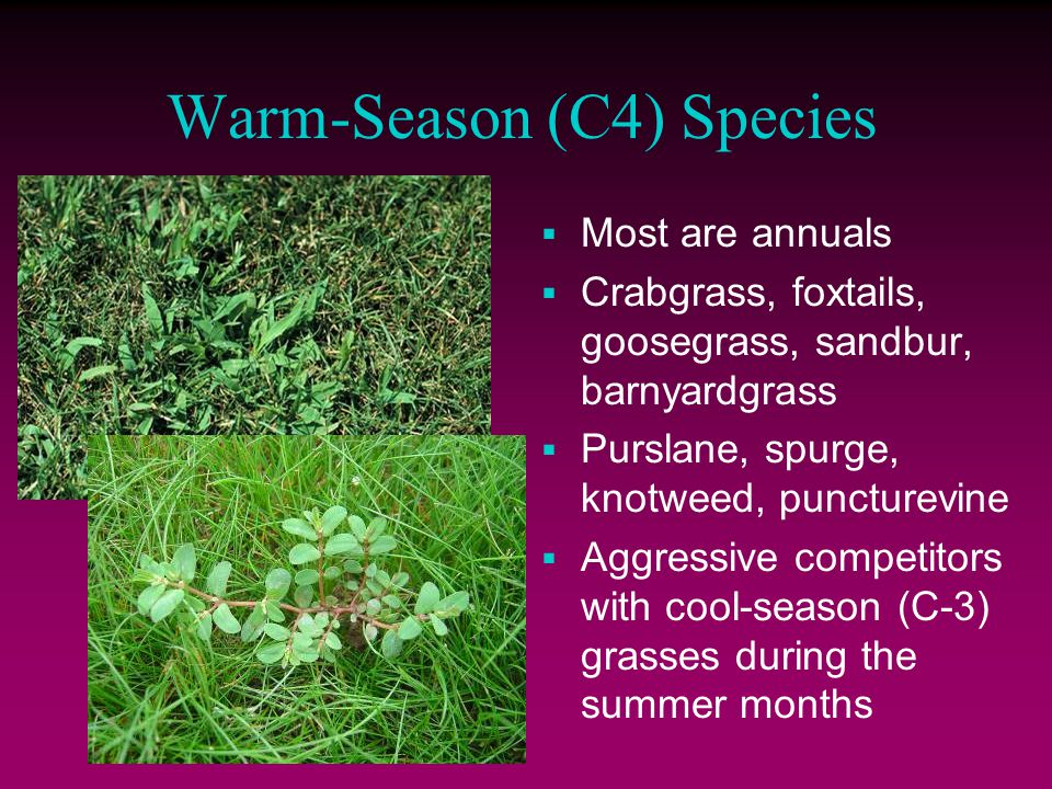 Warm-Season (C4) Species  Most are annuals  Crabgrass, foxtails, goosegrass, sandbur, barnyardgrass  Purslane, spurge, knotweed, puncturevine  Aggressive competitors with cool-season (C-3) grasses during the summer months