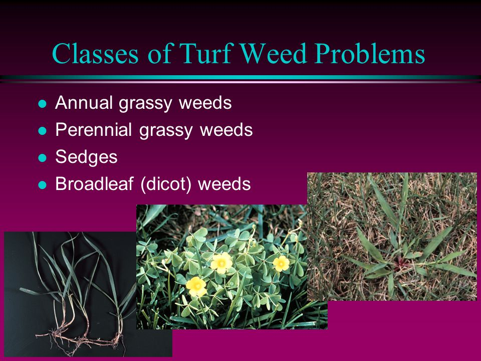 Classes of Turf Weed Problems l Annual grassy weeds l Perennial grassy weeds l Sedges l Broadleaf (dicot) weeds