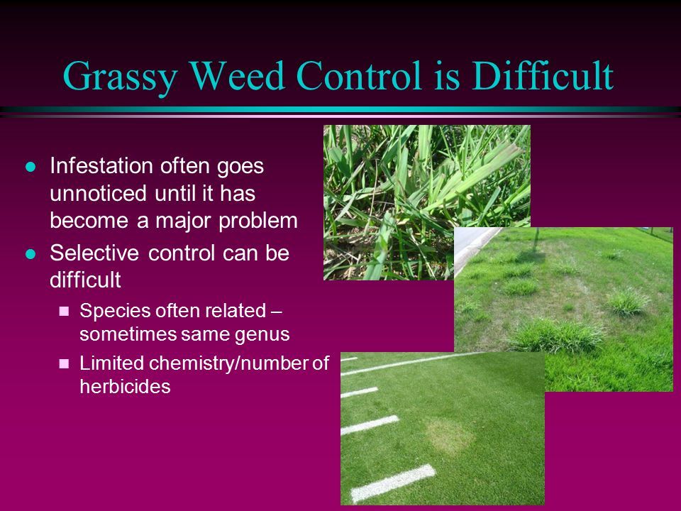 Grassy Weed Control is Difficult l Infestation often goes unnoticed until it has become a major problem l Selective control can be difficult n Species often related – sometimes same genus n Limited chemistry/number of herbicides