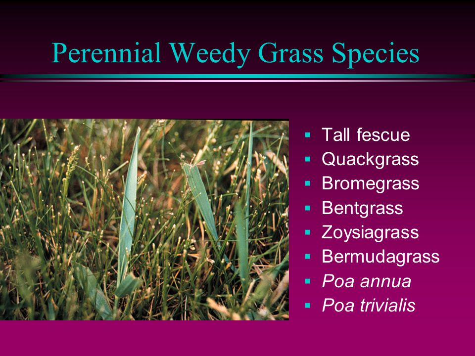 Perennial Weedy Grass Species  Tall fescue  Quackgrass  Bromegrass  Bentgrass  Zoysiagrass  Bermudagrass  Poa annua  Poa trivialis