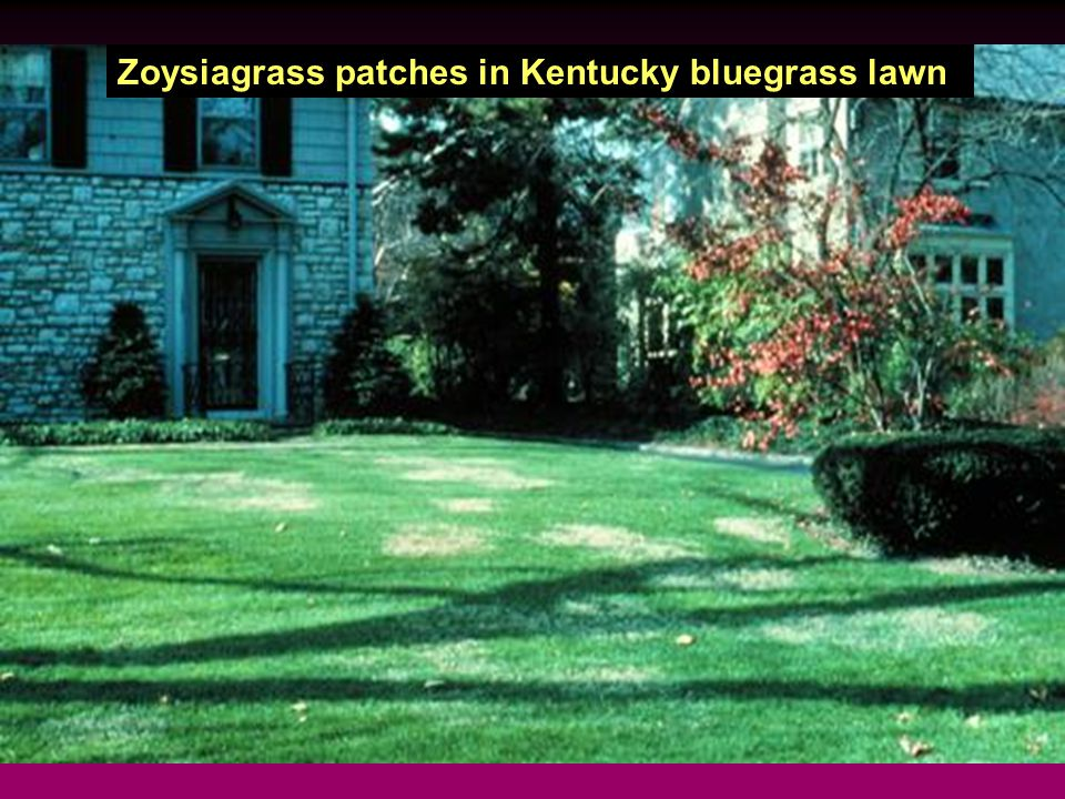 Zoysiagrass patches in Kentucky bluegrass lawn