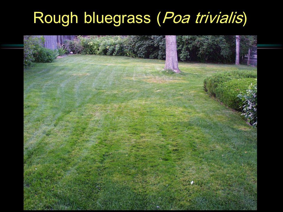 Rough bluegrass (Poa trivialis)