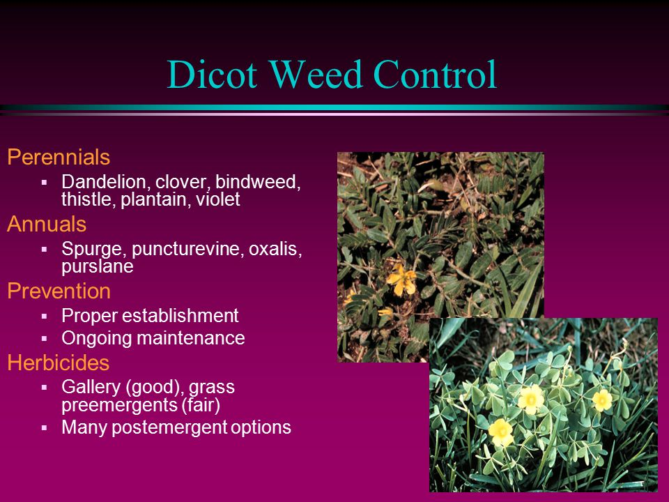 Dicot Weed Control Perennials  Dandelion, clover, bindweed, thistle, plantain, violet Annuals  Spurge, puncturevine, oxalis, purslane Prevention  Proper establishment  Ongoing maintenance Herbicides  Gallery (good), grass preemergents (fair)  Many postemergent options