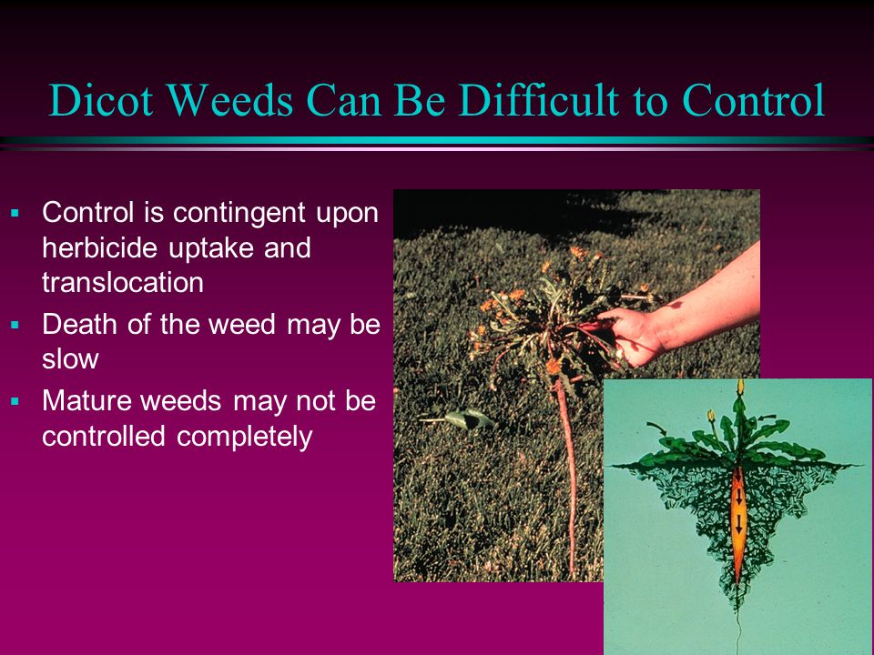 Dicot Weeds Can Be Difficult to Control  Control is contingent upon herbicide uptake and translocation  Death of the weed may be slow  Mature weeds may not be controlled completely