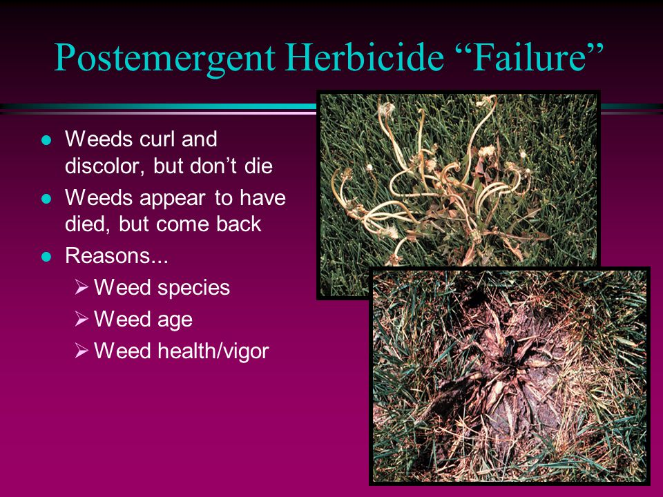 Postemergent Herbicide Failure l Weeds curl and discolor, but don't die l Weeds appear to have died, but come back l Reasons...