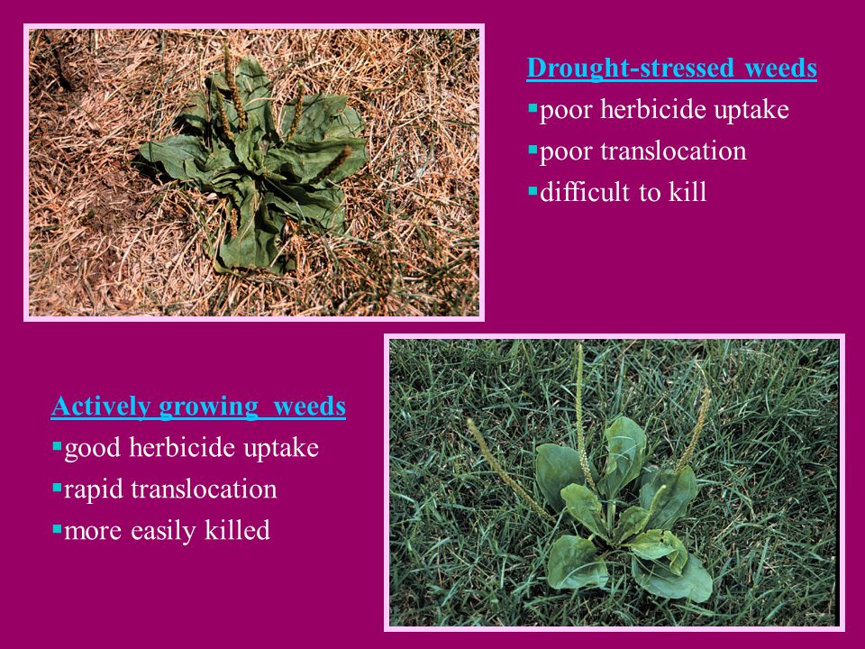 Drought-stressed weeds  poor herbicide uptake  poor translocation  difficult to kill Actively growing weeds  good herbicide uptake  rapid translocation  more easily killed