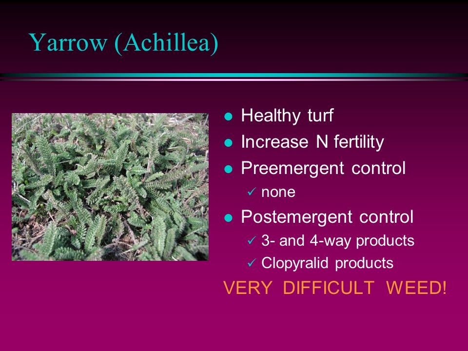 Yarrow (Achillea) l Healthy turf l Increase N fertility l Preemergent control none l Postemergent control 3- and 4-way products Clopyralid products VERY DIFFICULT WEED!