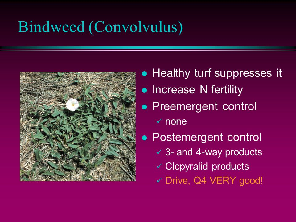 Bindweed (Convolvulus) l Healthy turf suppresses it l Increase N fertility l Preemergent control none l Postemergent control 3- and 4-way products Clopyralid products Drive, Q4 VERY good!
