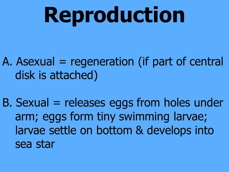 Reproduction A. Asexual = regeneration (if part of central disk is attached) B.