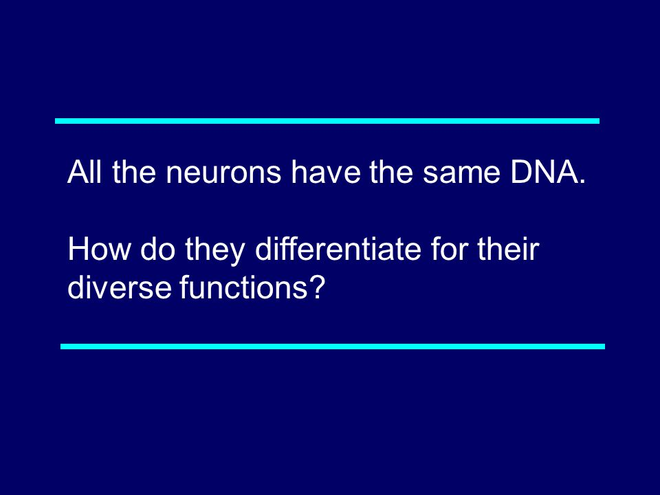 All the neurons have the same DNA. How do they differentiate for their diverse functions 08-081