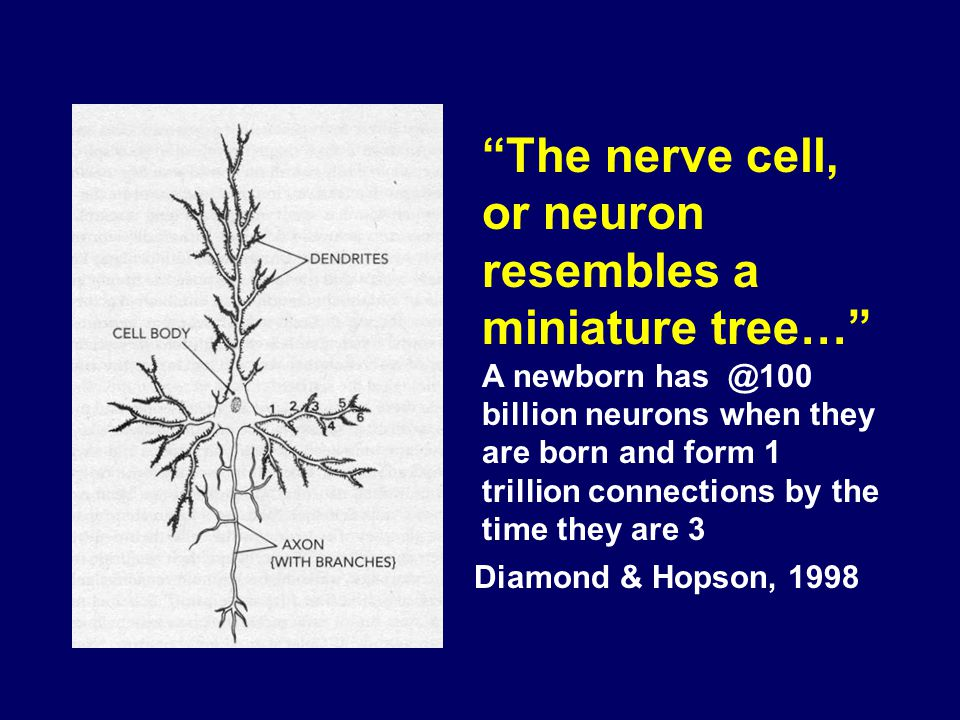 Diamond & Hopson, 1998 The nerve cell, or neuron resembles a miniature tree… A newborn has @100 billion neurons when they are born and form 1 trillion connections by the time they are 3