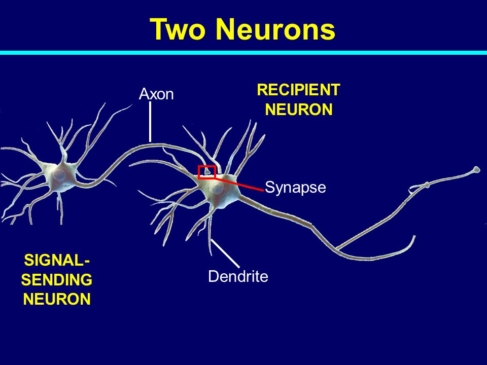 SIGNAL- SENDING NEURON RECIPIENT NEURON Synapse Dendrite Axon Two Neurons 04-039