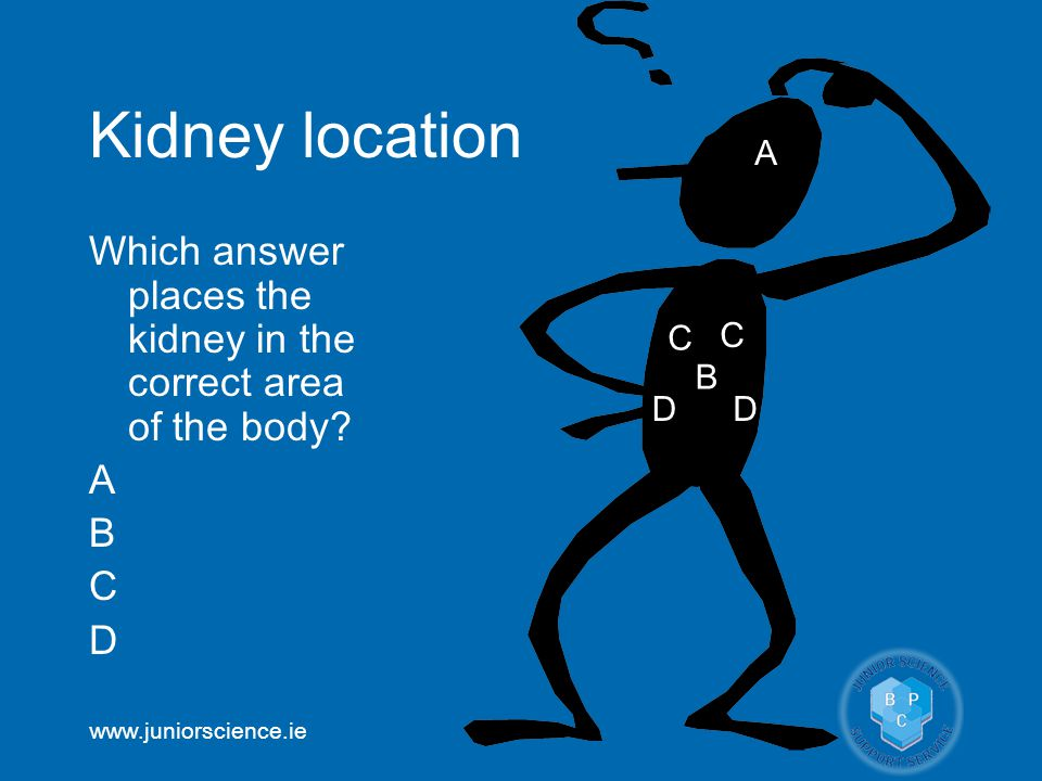www.juniorscience.ie Kidney location Which answer places the kidney in the correct area of the body.