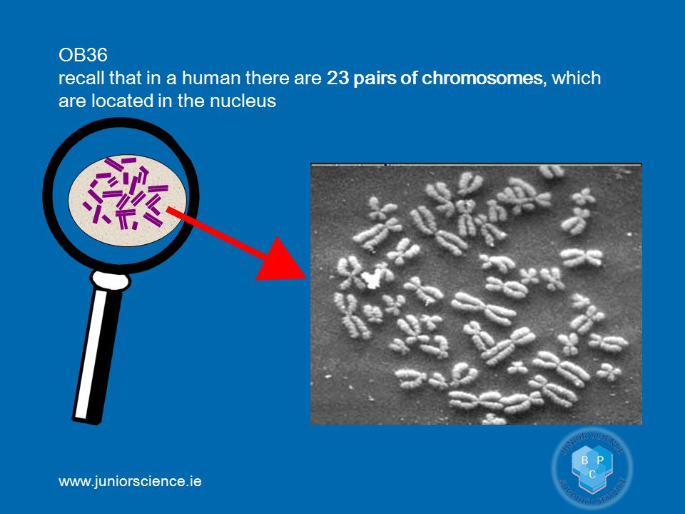 www.juniorscience.ie OB36 recall that in a human there are 23 pairs of chromosomes, which are located in the nucleus ©news.bbc.co.uk