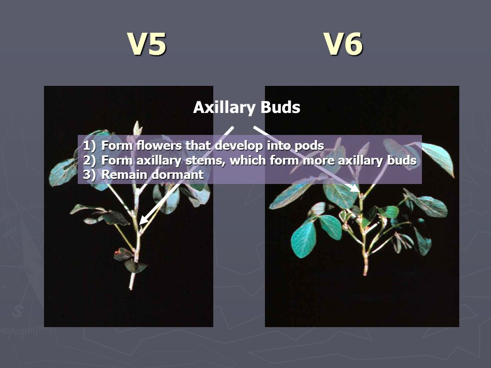 V5V6 Axillary Buds 1)Form flowers that develop into pods 2)Form axillary stems, which form more axillary buds 3)Remain dormant