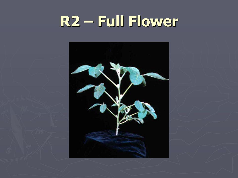 R2 – Full Flower
