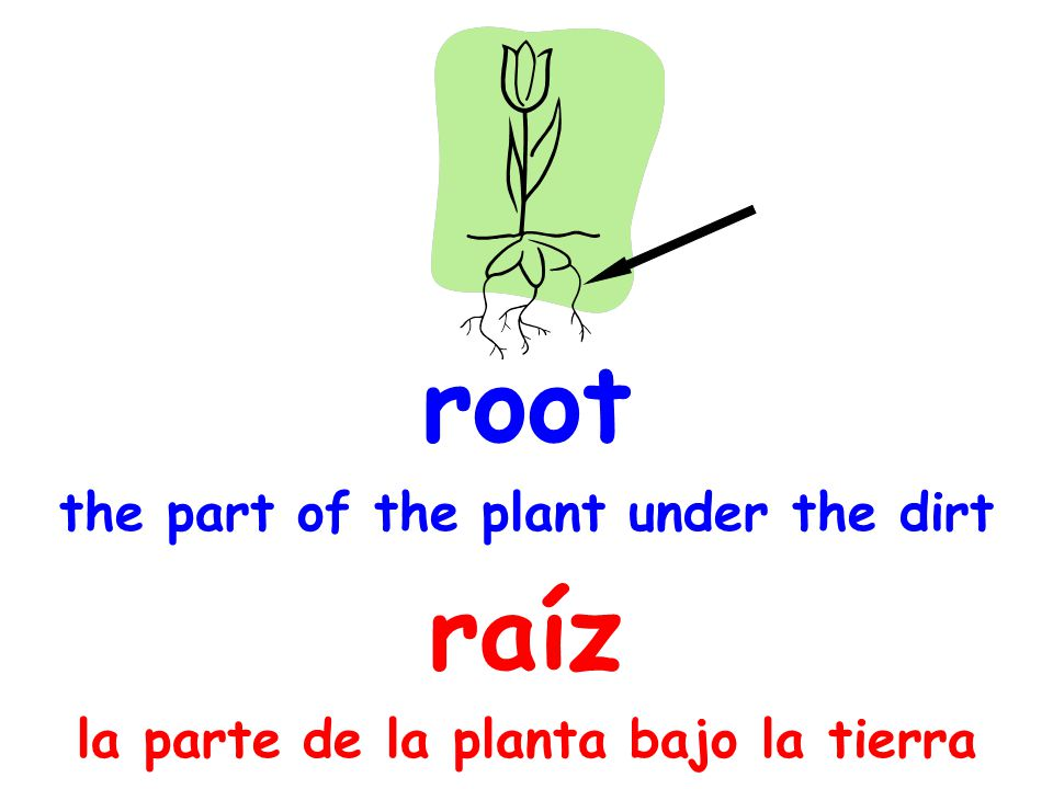 root the part of the plant under the dirt raíz la parte de la planta bajo la tierra