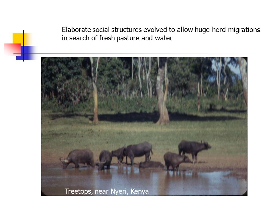 Elaborate social structures evolved to allow huge herd migrations in search of fresh pasture and water Treetops, near Nyeri, Kenya