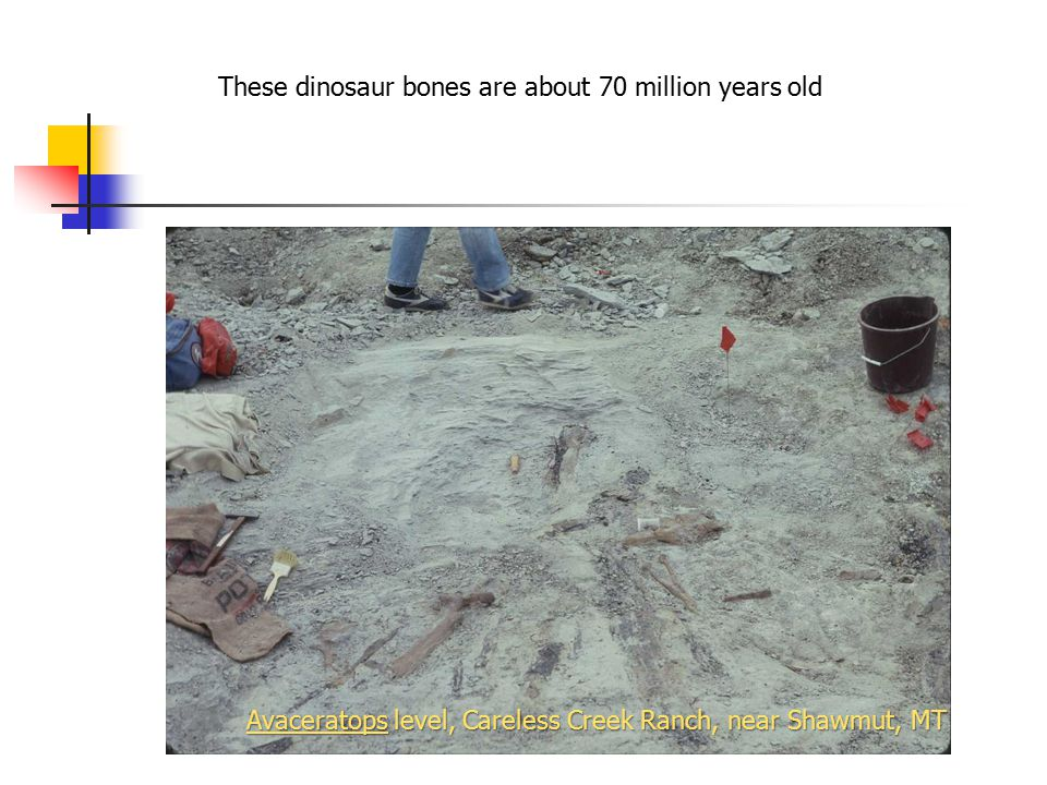 These dinosaur bones are about 70 million years old Avaceratops level, Careless Creek Ranch, near Shawmut, MT