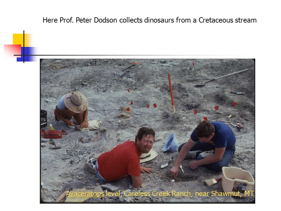 Here Prof. Peter Dodson collects dinosaurs from a Cretaceous stream Avaceratops level, Careless Creek Ranch, near Shawmut, MT
