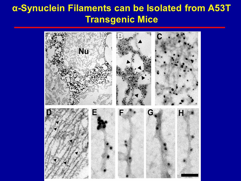 α-Synuclein Filaments can be Isolated from A53T Transgenic Mice
