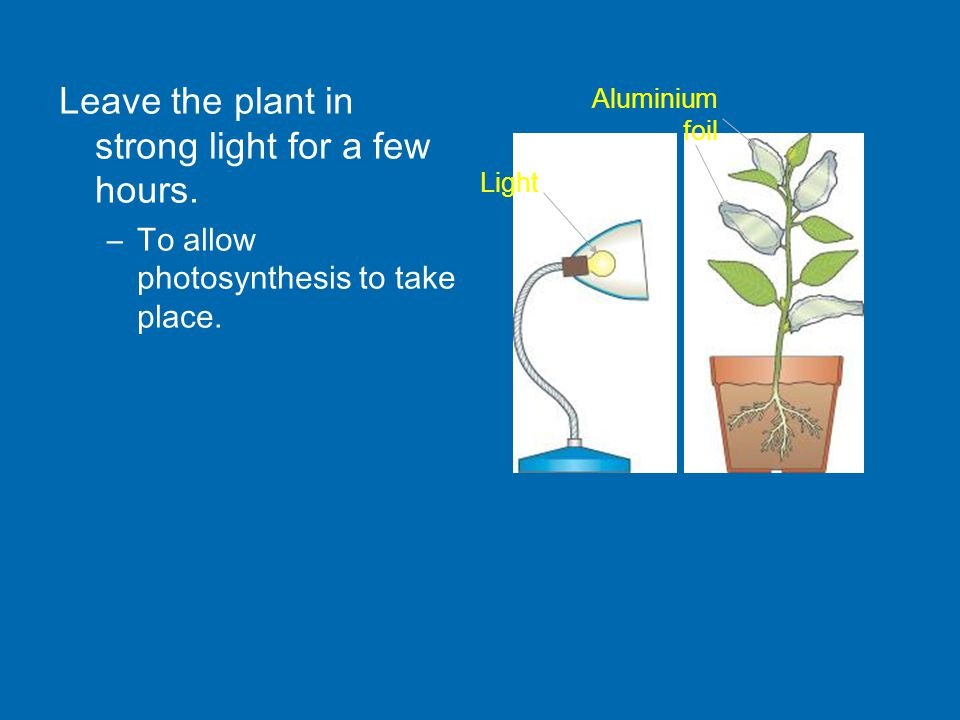 Leave the plant in strong light for a few hours. –To allow photosynthesis to take place.