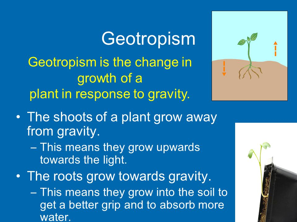 Geotropism The shoots of a plant grow away from gravity.