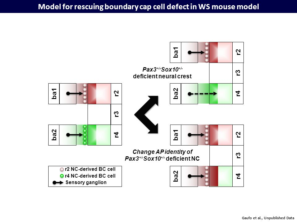 Model for rescuing boundary cap cell defect in WS mouse model r3 r4ba2 r2ba1 r3 r4ba2 r2 ba1 r3 r4 r2ba1 ba2 Pax3 +/- Sox10 +/- deficient neural crest Change AP identity of Pax3 +/- Sox10 +/- deficient NC Sensory ganglion r2 NC-derived BC cell r4 NC-derived BC cell Gaufo et al., Unpublished Data