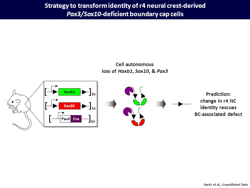 Strategy to transform identity of r4 neural crest-derived Pax3/Sox10-deficient boundary cap cells Prediction: change in r4 NC identity rescues BC-associated defect Cell autonomous loss of Hoxb1, Sox10, & Pax3 Pax3Cre Hoxb1 Sox10 1x 2x Gaufo et al., Unpublished Data