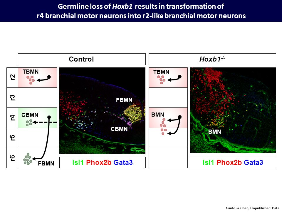 Germline loss of Hoxb1 results in transformation of r4 branchial motor neurons into r2-like branchial motor neurons Gaufo & Chen, Unpublished Data ControlHoxb1 -/- r4 r5 r6 FBMN r2 r3 Isl1 Phox2b Gata3 FBMN CBMN BMN CBMN TBMN BMN