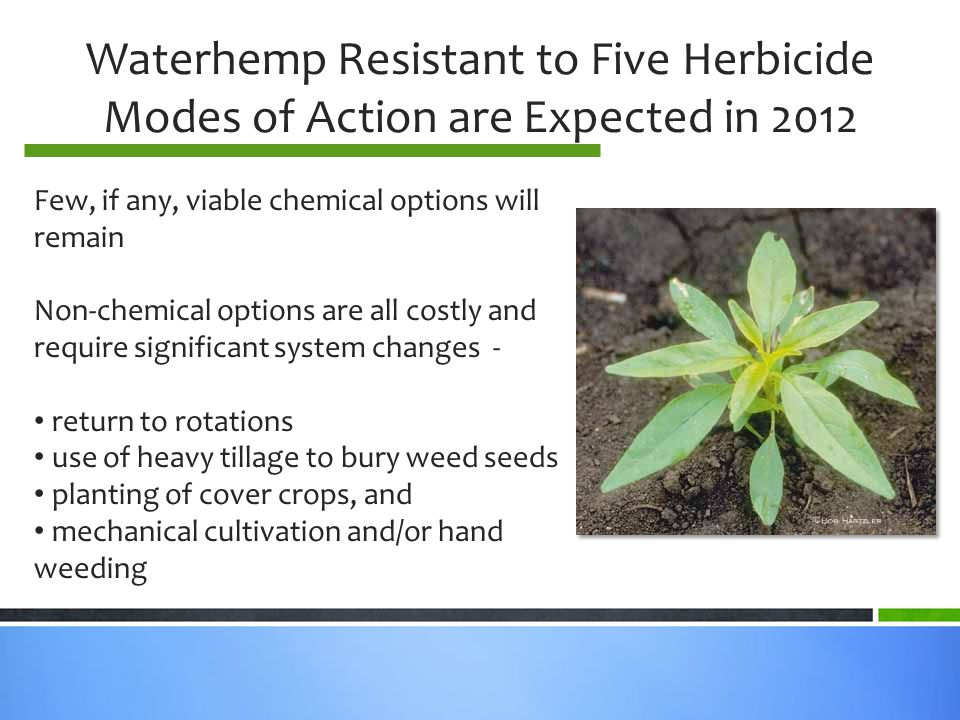 Waterhemp Resistant to Five Herbicide Modes of Action are Expected in 2012 Few, if any, viable chemical options will remain Non-chemical options are all costly and require significant system changes - return to rotations use of heavy tillage to bury weed seeds planting of cover crops, and mechanical cultivation and/or hand weeding