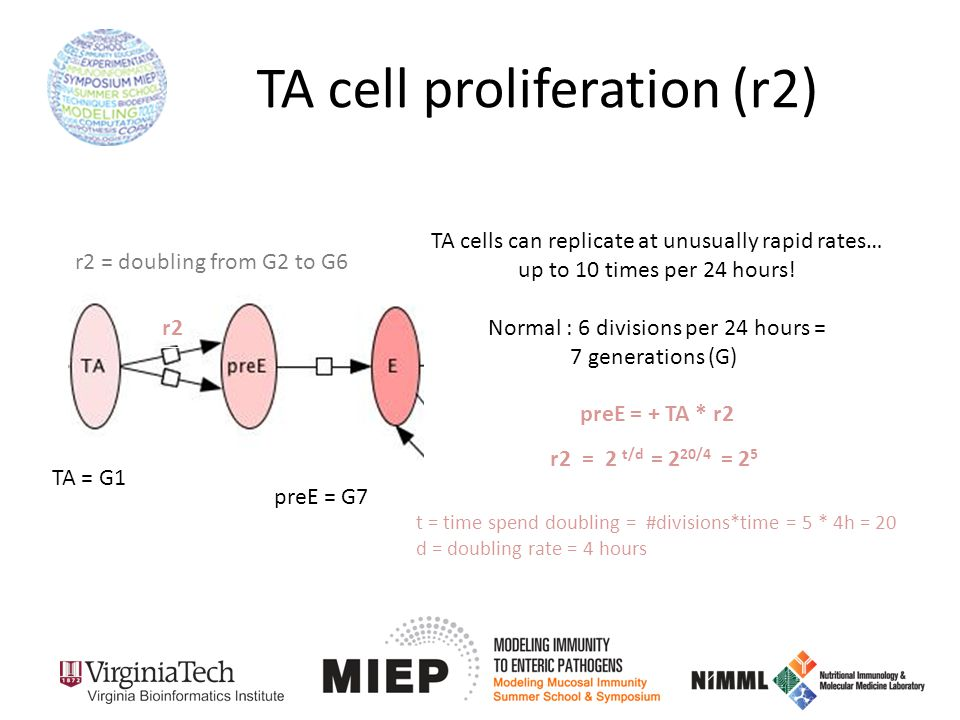 TA cell proliferation (r2) TA cells can replicate at unusually rapid rates… up to 10 times per 24 hours.
