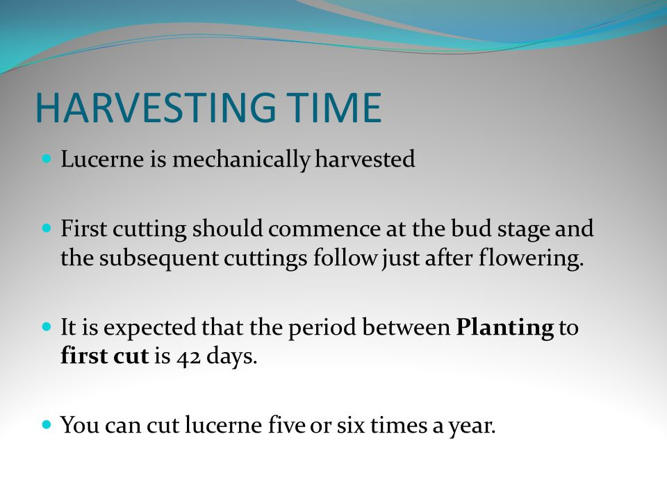 HARVESTING TIME Lucerne is mechanically harvested First cutting should commence at the bud stage and the subsequent cuttings follow just after flowering.
